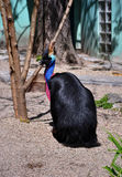 Cassowary Bird Stock Image