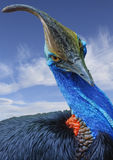 Cassowary with blue sky and clouds Royalty Free Stock Photos