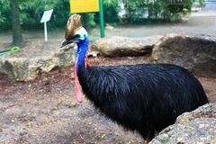 Cassowary. The cassowaries are ratites (flightless birds without a keel on their sternum bone) in the genus Casuarius and are native to the tropical forests of Royalty Free Stock Photography