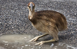 Cassowary chick Stock Photo