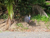 Cassowary with chick Stock Photo