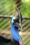 Cassowary Stock Photo
