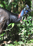 Cassowary ,Daintree,Queensland,Australia Royalty Free Stock Photo