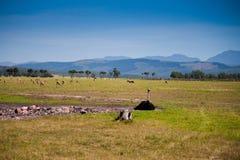 Cassowary em África fotografia de stock royalty free