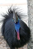 Cassowary eye Royalty Free Stock Photo