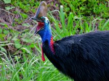 Cassowary Gaping. A male cassowary showing off an impressive gape with green, grassy background Royalty Free Stock Image