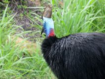 Cassowary Gaping. A wild male cassowary displaying an impressive gape Royalty Free Stock Photos