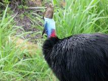 Cassowary Gaping Royalty Free Stock Photos