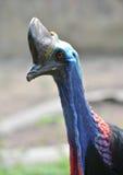 Cassowary head Stock Image