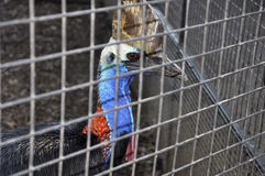Cassowary no captiveiro fotos de stock royalty free