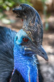 Cassowary Stock Images