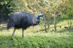 Cassowary portrait. On green grass Stock Image
