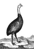 Cassowary Stock Photos