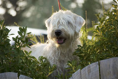 Cassy On Canine Patrol. The Soft-coated Wheaten Terrier is a pure bred dog originating from Ireland. The four coat varieties are: Traditional Irish, Heavy Irish Stock Photo