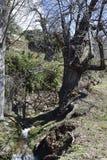 Castaña centenaria en trayectoria con el canal de irrigación Lanjaron imagenes de archivo