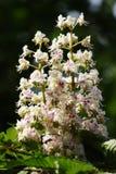 Castaña de caballo en la floración. fotografía de archivo libre de regalías