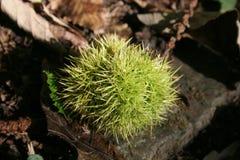 Castaña de púas verde salvaje Foto de archivo libre de regalías