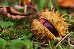 Castaña del manguito en shell imagen de archivo