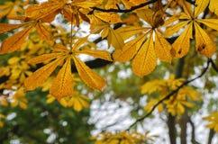 Castaña del otoño Imagen de archivo libre de regalías