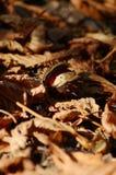 Castaña en hojas de los muertos del otoño Fotografía de archivo