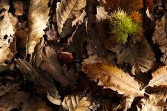 Castaña en la tierra con las hojas secas caidas foto de archivo libre de regalías