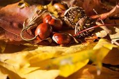 Castaña en las hojas de arce Fotos de archivo