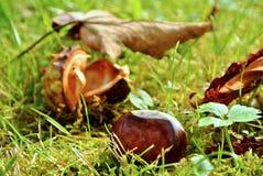 Castaña en otoño Imagen de archivo libre de regalías