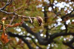 Castaña en una rama de árbol imagen de archivo