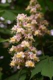 Castaña floreciente Foto de archivo libre de regalías