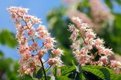 Castaña floreciente del resorte Foto de archivo libre de regalías