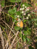Castaña Heath Butterfly en Blackberry arbusto Fotos de archivo libres de regalías