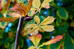 Castaña Hojas de otoño coloridas transparentes imagen de archivo libre de regalías