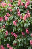 Castaña rosada floreciente Foto de archivo libre de regalías