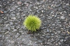 castaña verde en un fondo del asfalto gris en un día de verano soleado foto de archivo libre de regalías