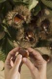 Castañas con las cáscaras Foto de archivo libre de regalías