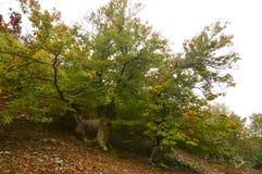 Castañas de Forest Very Leafy Full Of del árbol de castaña en la tierra en un día nublado en el Medulas Naturaleza, viaje, paisaj fotografía de archivo libre de regalías