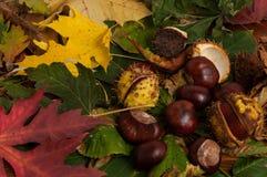 Castañas del otoño Fotos de archivo libres de regalías