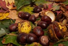 Castañas del otoño Fotos de archivo