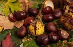 Castañas del otoño Imagenes de archivo
