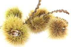 Castañas dulces maduras Imagen de archivo libre de regalías