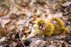 Castañas en el bosque Imagen de archivo