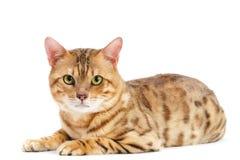 Casta de Bengala de los gatos. Foto de archivo libre de regalías