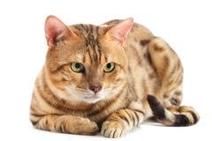 Casta de Bengala de los gatos. Fotos de archivo