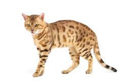 Casta de Bengala de los gatos. Imagen de archivo