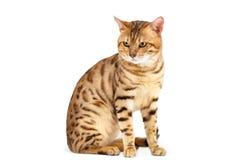Casta de Bengala de los gatos. Foto de archivo