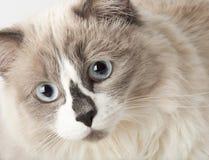 Casta de Ragdoll del gato Imagenes de archivo