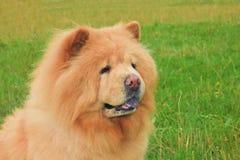 Casta del chow-chow del perro imagen de archivo libre de regalías