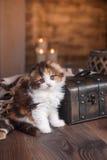 Casta del doblez del escocés del gatito Foto de archivo libre de regalías