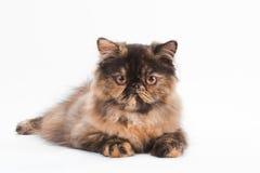 Casta femenina del gato persa Imagen de archivo