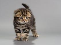 Casta masculina del doblez del escocés del gatito Fotos de archivo libres de regalías